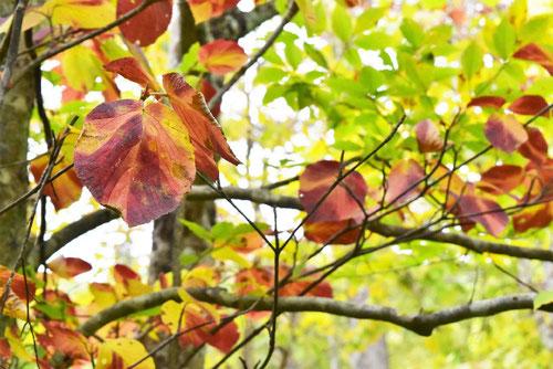 白木,紅葉