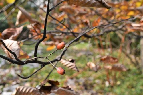 裏白の木 果実