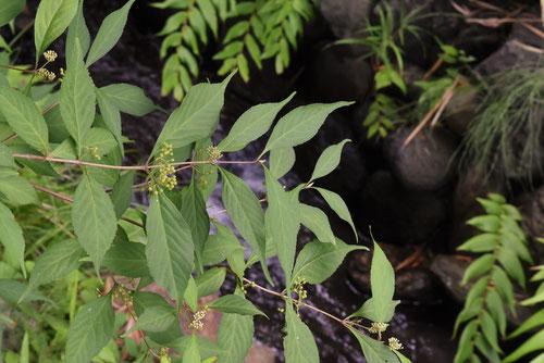 紫式部 木 葉