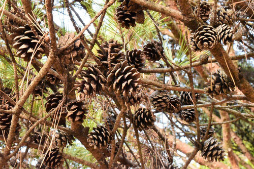 cone of red pine,picture