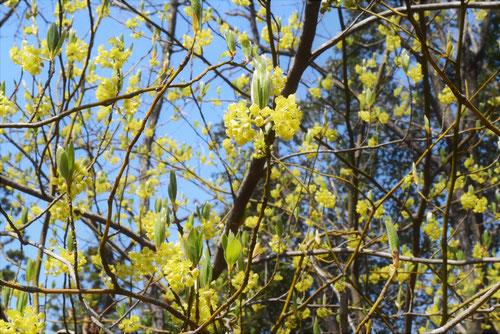 クロモジの木の花