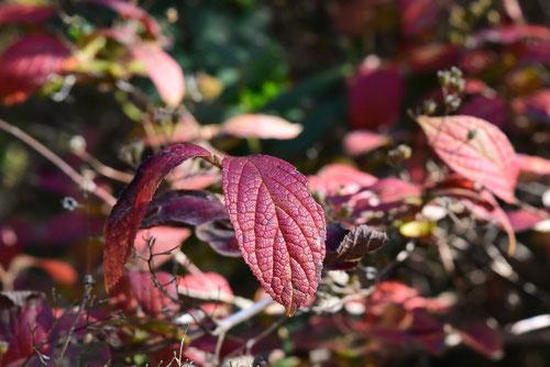 紅葉する空木