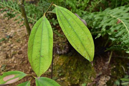 chinese cinnamon tree