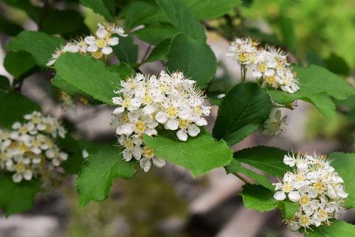カマツカの花,画像