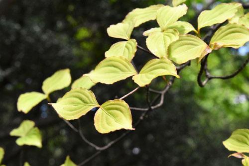 ヤマボウシ,葉っぱ