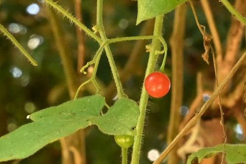 ツル性の草,赤い実