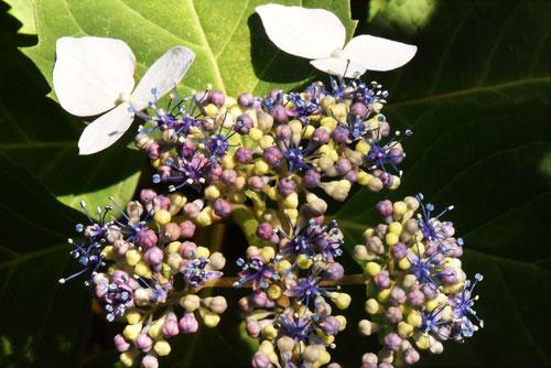 アマチャ,あまちゃの花
