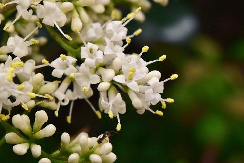flower of Japanese privet