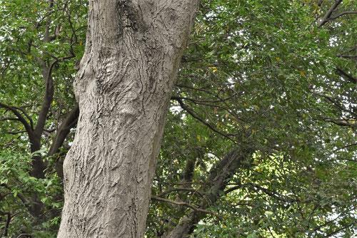 板谷楓 樹皮