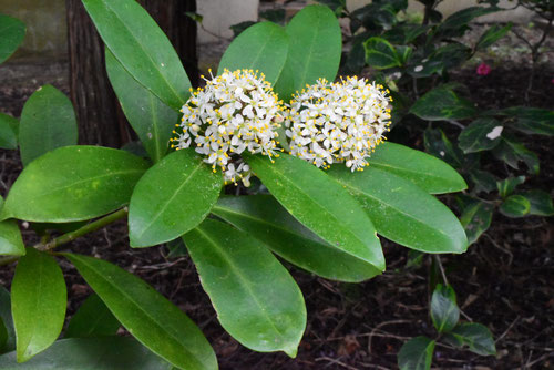 Japanese skimmia,flower