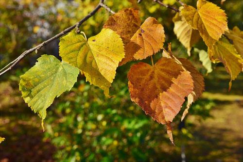 セイヨウシナノキ 紅葉 黄葉