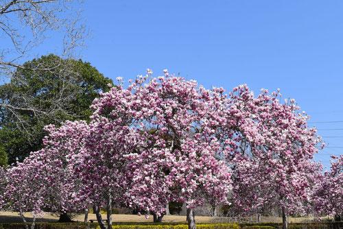 紫色の花が咲くモクレン