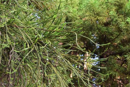 杉の木の種類,すぎ