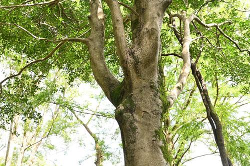 ホーリーの木