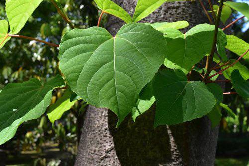 イイギリ 樹木図鑑 画像