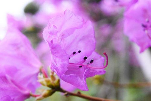 ゲンカイツツジ 花