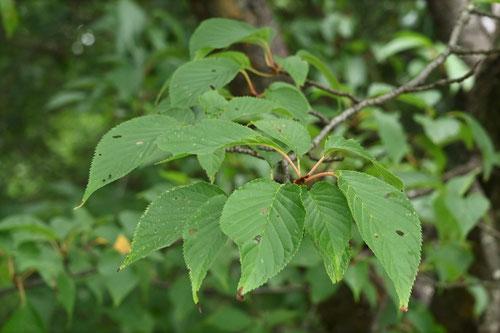 オオヤマザクラ,葉