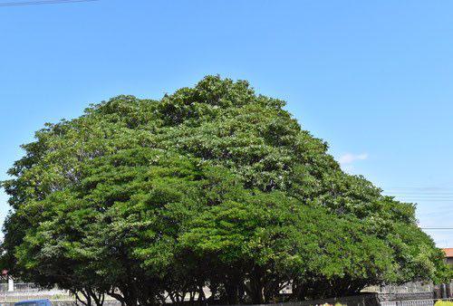 Cheesewood,tree,Japan