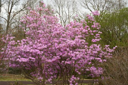土佐三つ葉躑躅,花