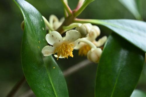 木斛の花 時期