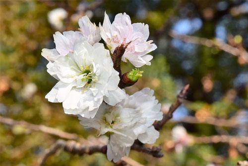 コブクザクラ,花,特徴