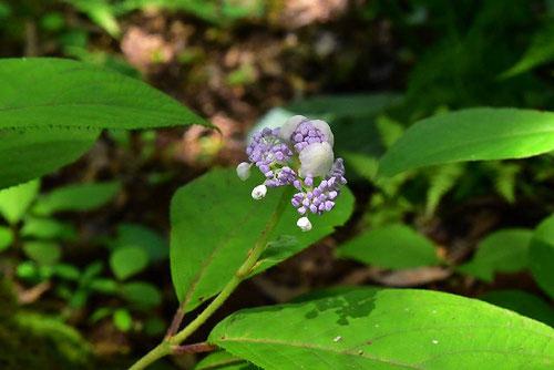 タマアジサイ 花