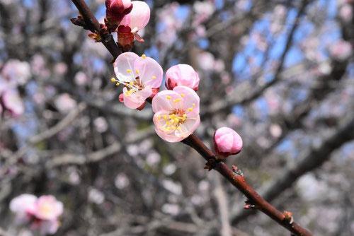 梅に似ている花 木 アプリコット 花