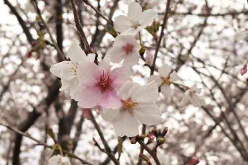 マメザクラの花