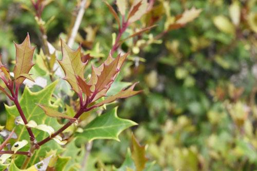 柊の木,葉っぱ,ひいらぎ