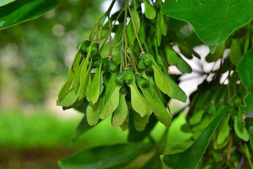 トウカエデの種,画像