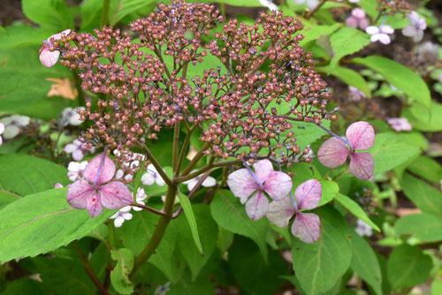アマチャ,花の色,特徴