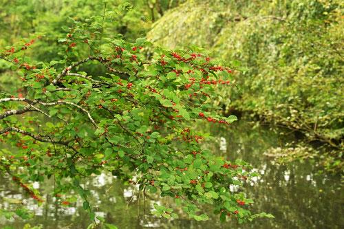 ウメモドキの木,うめもどき