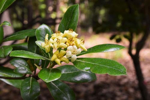 トベラの花,雌雄