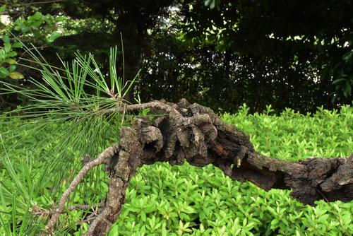nishikimatsu tree