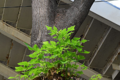 梶の木,特徴