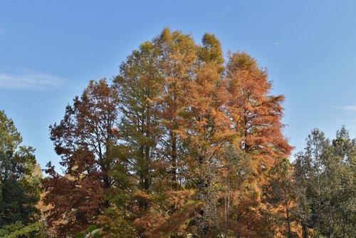 沼杉の木の紅葉