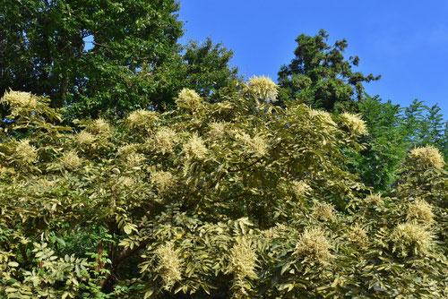クリーム色の花が咲く木 何
