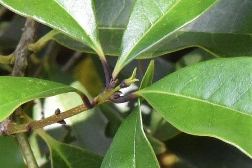 ウスギモクセイの木,特徴