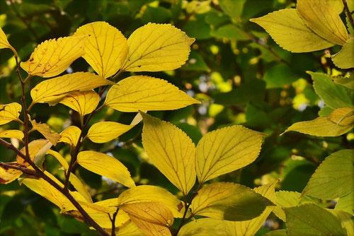 榎 紅葉 黄葉 画像