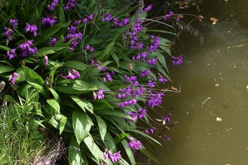 紫蘭,画像