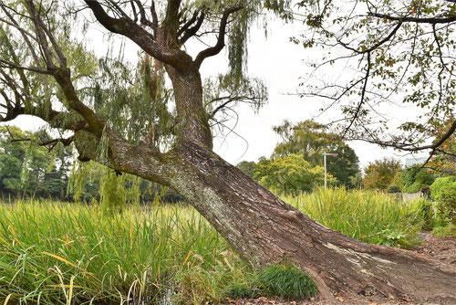 柳の木,伐採