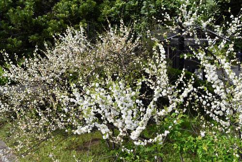 庭桜の木の花,特徴,麦李