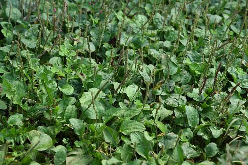 雑草,代表種