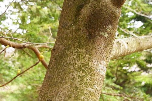 苦木の木,幹