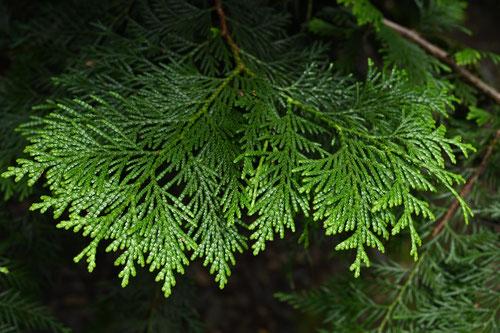 クロベ 檜 樹木 見分け