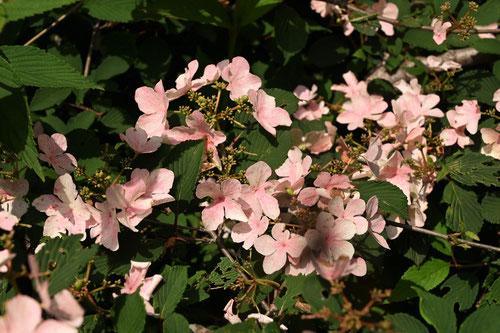 ヤブデマリ ピンク花 画像
