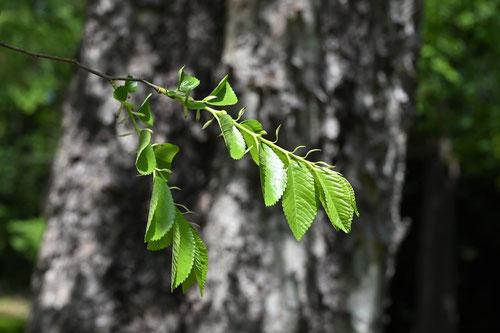 アキニレの木