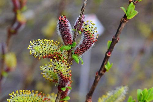 イヌコリヤナギの花 画像