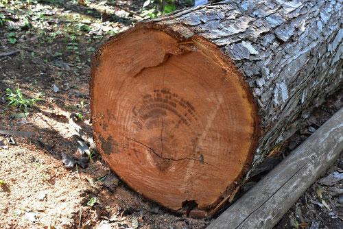 Chinese cedar,tree