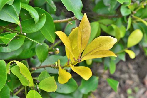 もちのき,種類,黄色い葉